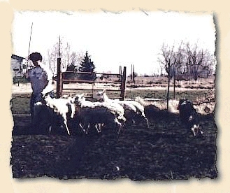 Abby herding sheep